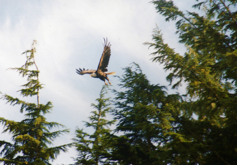 Beautiful bald eagle sighting!