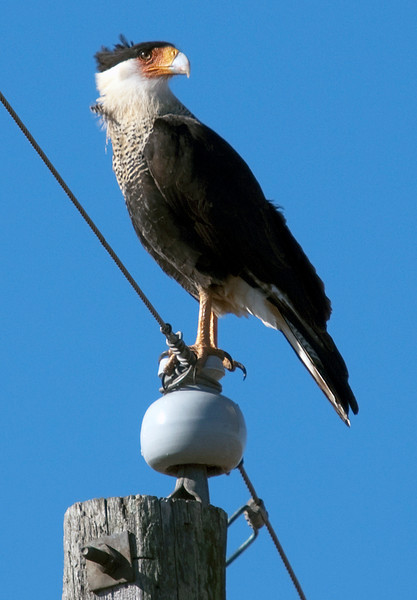 Caracara near Eagle Lake, TX