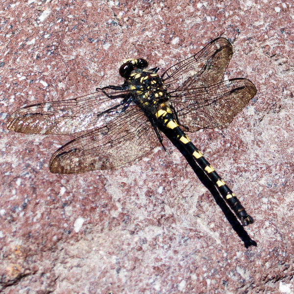 Dragonfly sunning itself next to the water