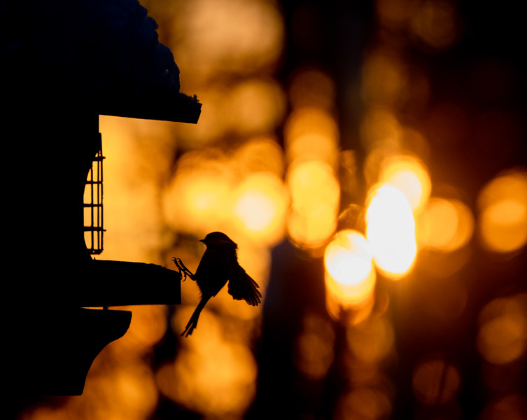 Black-capped Chickadee at feeder backlit backlighting Skogstjarna Carlton County MN  IMGC9951.jpg