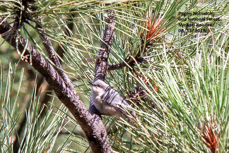 IMG_7720 3T Pygmy Nuthatch Cherry Creek Campground Gila NF.jpg