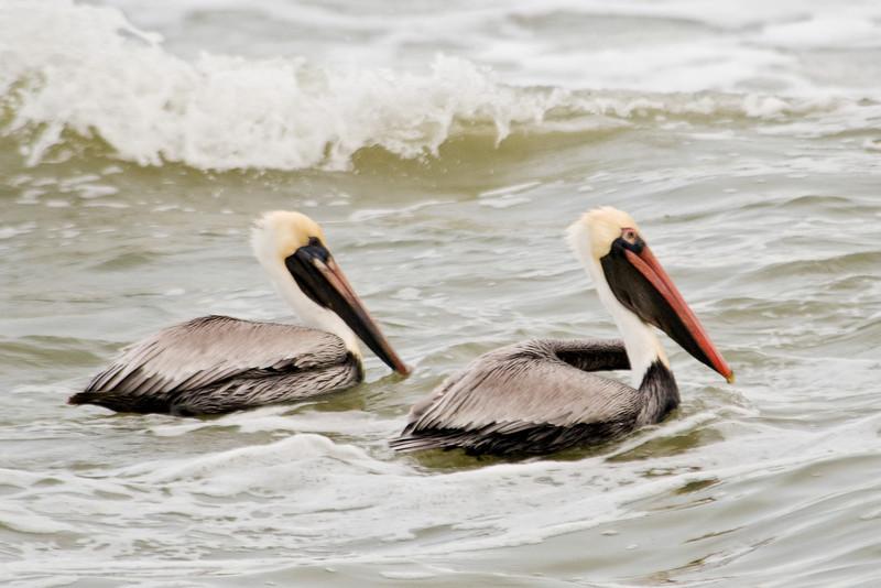Pelican - Brown - St. George Island, FL - 03