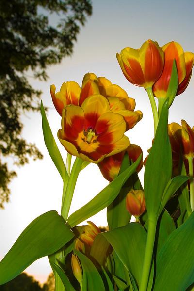 Tulips outdoor_02.jpg