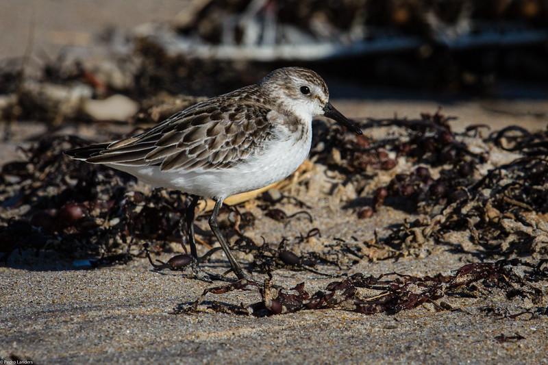 Sanderling and Seaweed.jpg