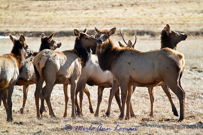 Small elk herd in January, 2011
