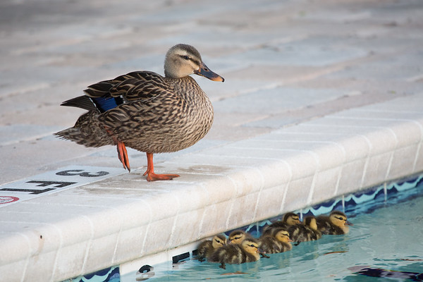 2019-04-29 | Ducks Saved from Pool