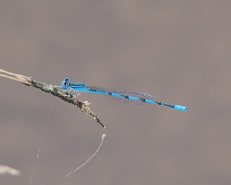 Double-striped Bluet, male