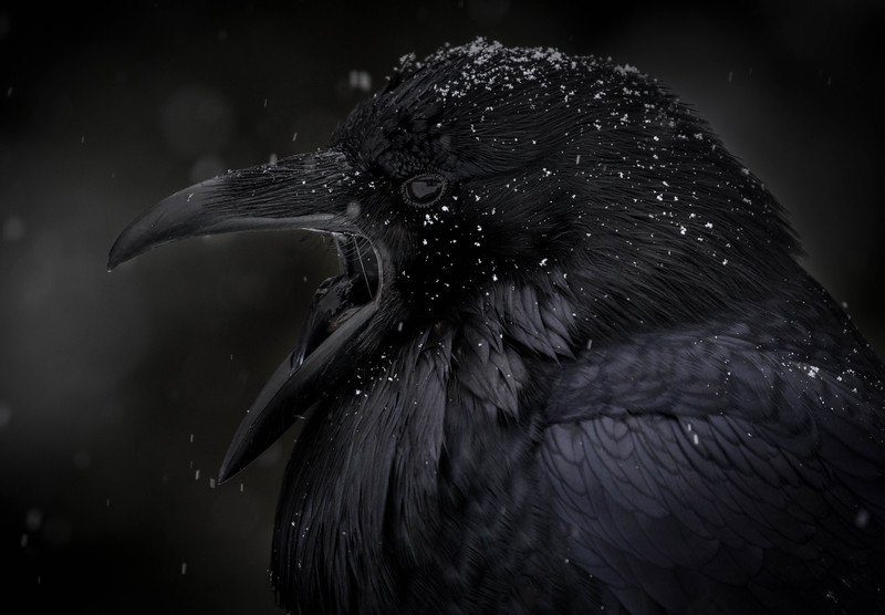 Raven in snow, Banff National Park