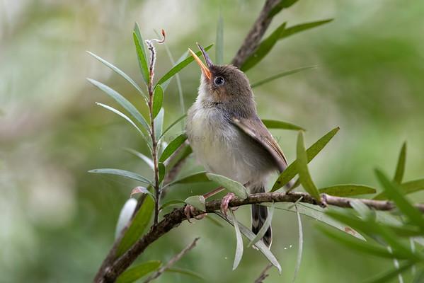Cisticolas , Prinias & Tailorbirds (3 Species)