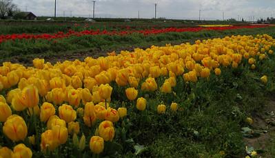 Dutch Hollow Tulips