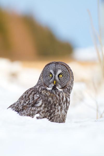 Great Gray Owl intersection Owl Avenue and Arkola Road CR52 Sax-Zim Bog MN IMG_0144.jpg