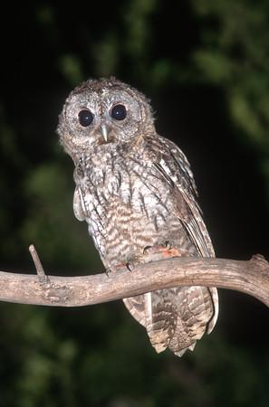 Tawny Owl - לילית מצויה