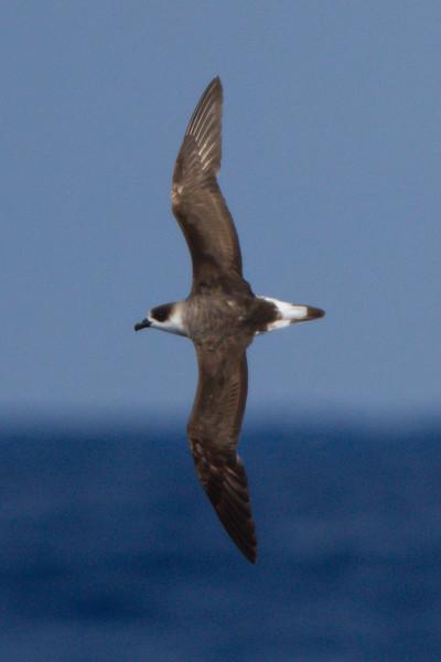 Black-capped Petrel at Gulf Stream pelagic off Hatteras, NC (06-02-2012) 002-23.jpg