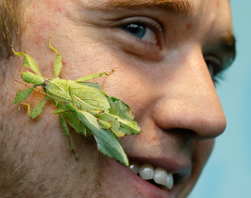 . Keeper Jeff Lambert smiles as two leaf insects get close during a photo call for the annual stock take at London Zoo, Thursday, Jan. 3, 2013. More than 17,500 animals including birds, fish, mammals, reptiles and amphibians are counted in the annual stock take at the zoo. (AP Photo/Kirsty Wigglesworth)