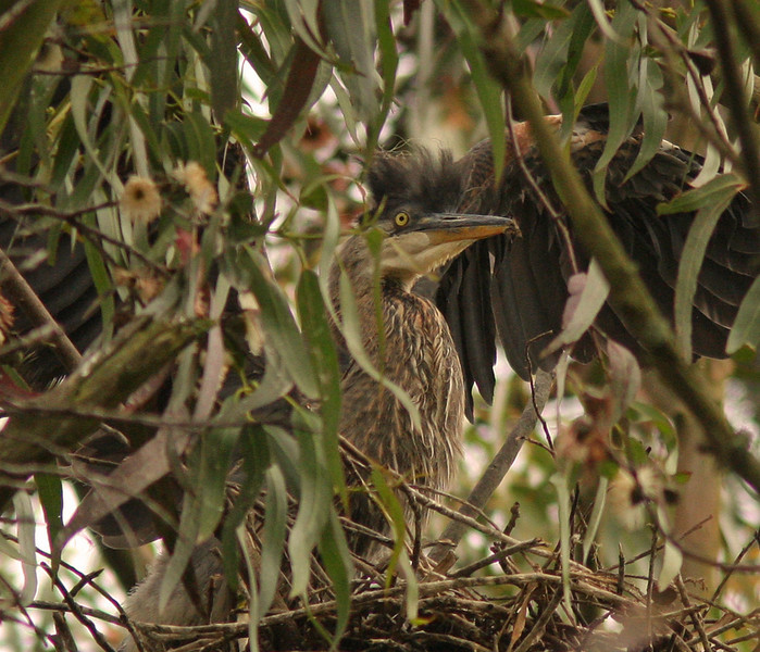 WB~Great Blue Heron chick1280.jpg