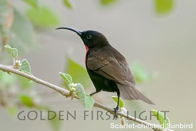Scarlet-chested Sunbird, Kenya