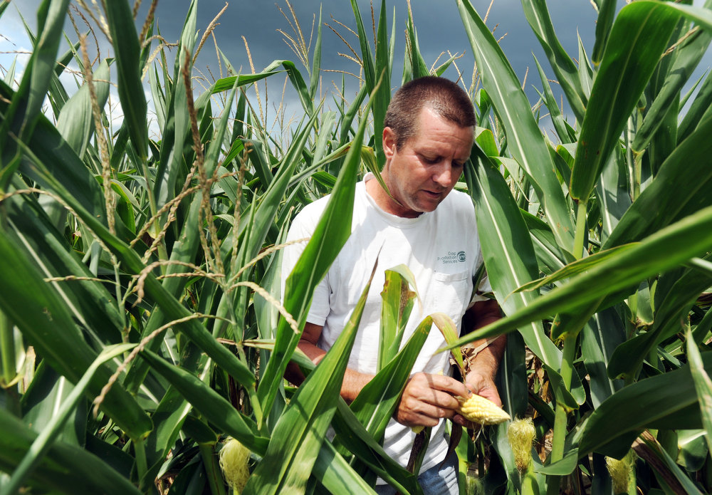". In this Thursday, July 12, 2012 file photo, Joe Fischer checks on his corn field in Owensboro, Ky. ""We\'ve been in a drought for the last three weeks,\"" he said. Fischer farms the property with his brother Tony Fischer. They planted 900 acres of corn with 30,000 plants per acre. \""We have no idea what our yield will be,\"" Joe Fischer said. U.S. Agriculture Secretary Tom Vilsack designated 26 Kentucky counties among more than 900 counties in 29 states as disaster areas. (AP Photo/Messenger-Inquirer, John Dunham)"