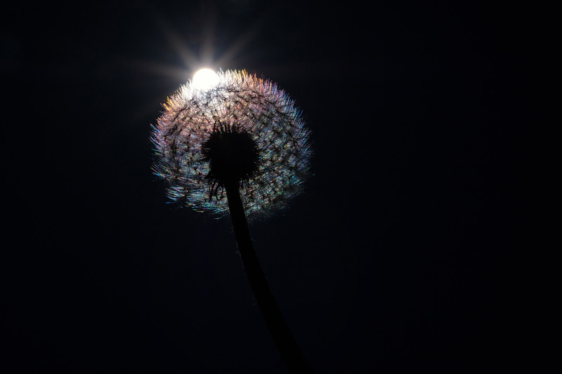 Rainbow in a dandelion