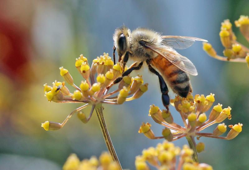 Honey bee 19