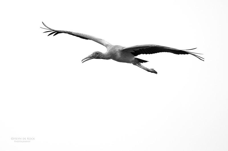 Yellow-billed Stork, imm, Chobe River, NAM, Oct 2016-7.jpg