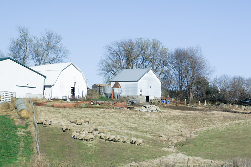 Iowa Sheep Farm