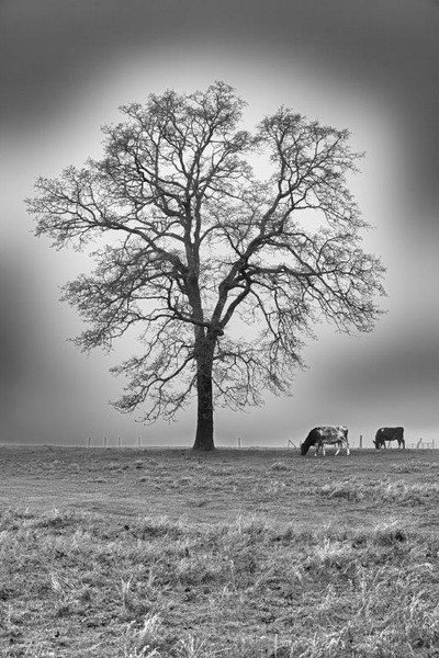 Cows graze in the presence of an oak tree in the early morning fog. WA