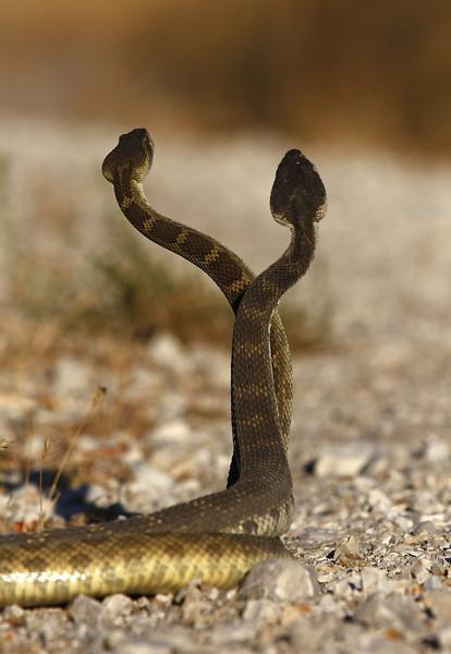 Rattlesnake Riitual (Hiss & Hers)