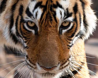 India - Bengal Tiger