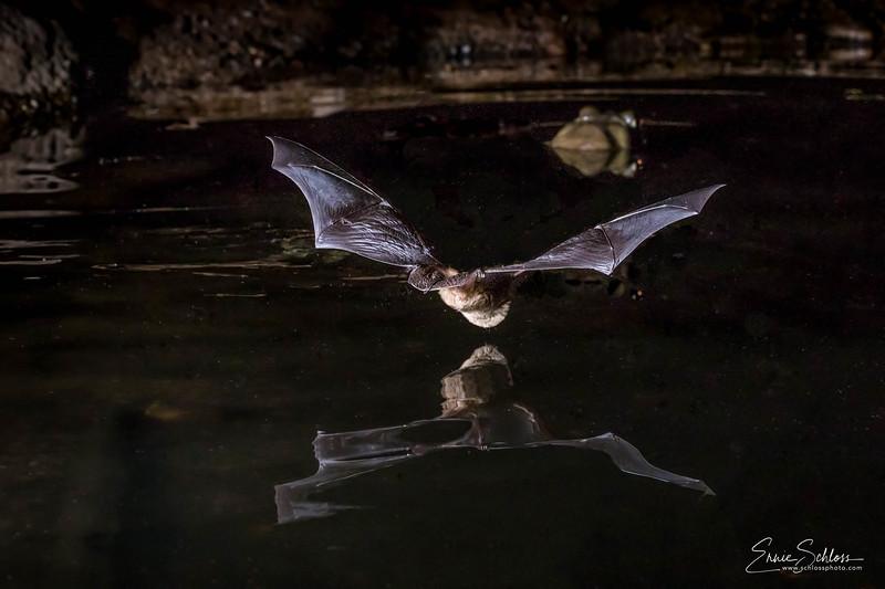 Bats at Pond  6-11-2018c-.jpg