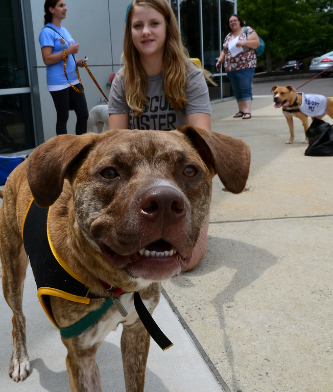 . Boss, a Mastiff-Lab mix rescue dog,gives the camera a sniff during the Dog Town Recue Adoption event at  Bergey\'s Chevrolet in Colmar on Saturday July 19,2014.Photo by Mark C Psoras/The Reporter