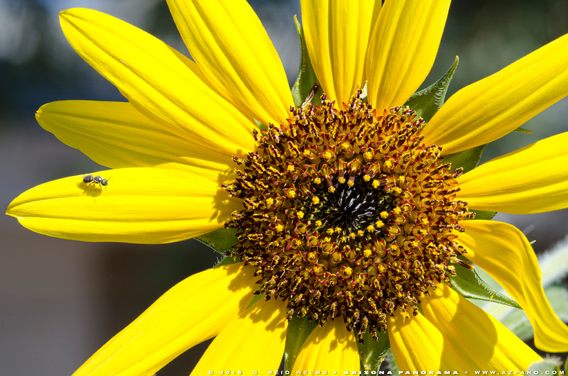 Sweat Bee Visitor