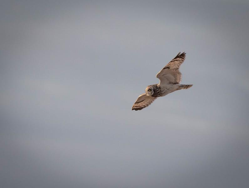 Short-eared Owl up high