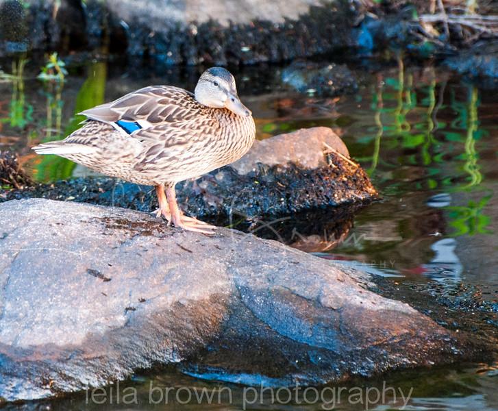 duck on rock.jpg