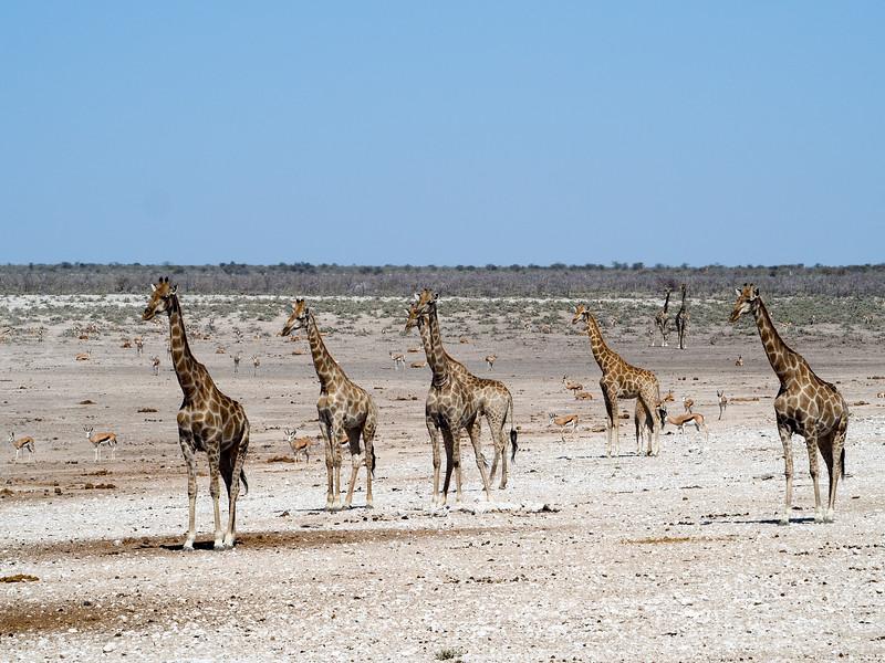Giraffes in Etosha National Park in Namibia