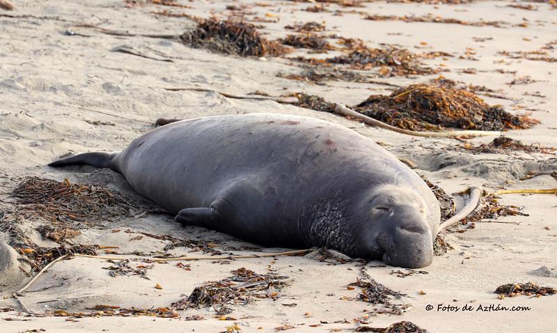 Elephant Seal IMG_0718.jpg
