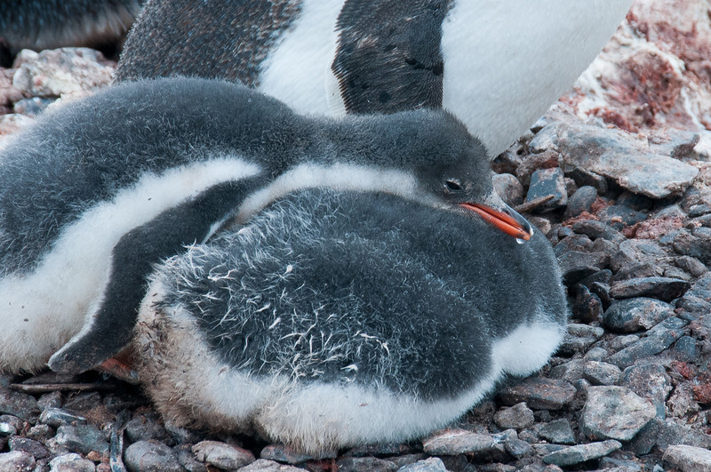 Gento penguin chick resting in Paradise Bay