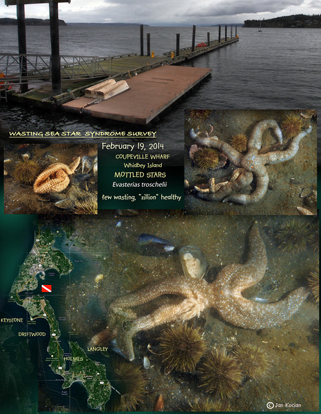 Sea Star Wasting Survey, Coupeville Wharf, Whidbey Island, February 19, 2014