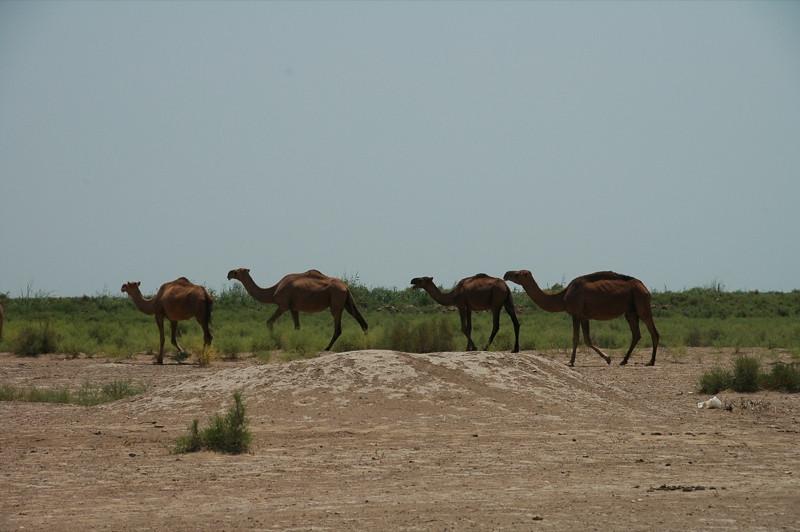 Camels Drifting Across Desert - Gonur Depe, Turkmenistan