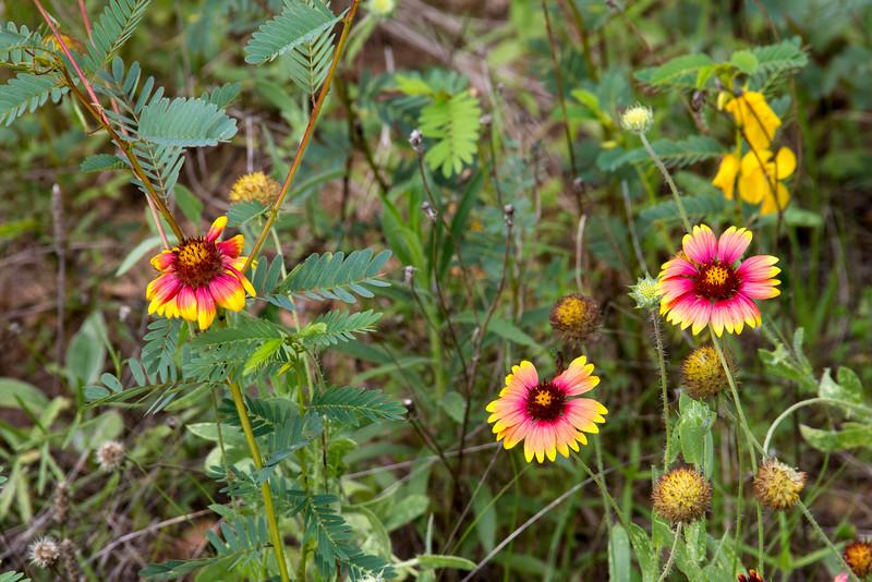 wild Texas rudbeckia