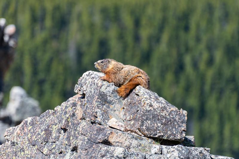 Chonkin' Marmot