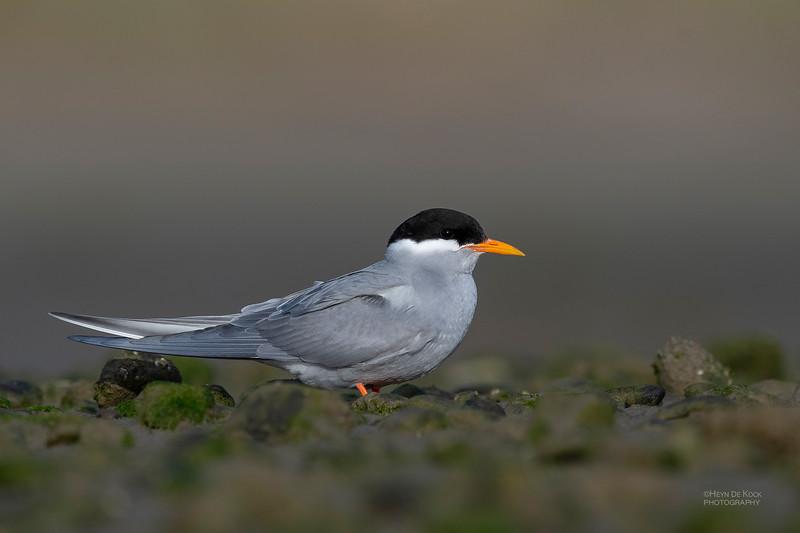 Black-fronted Tern, Christchurch, SI, NZ, Sep 2018-11.jpg