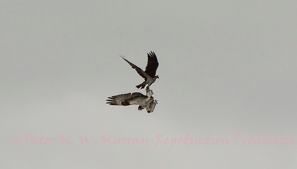 Osprey of Paradise Valley Montana 2013-2021