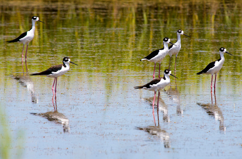 6blackneckedstilts.JPG