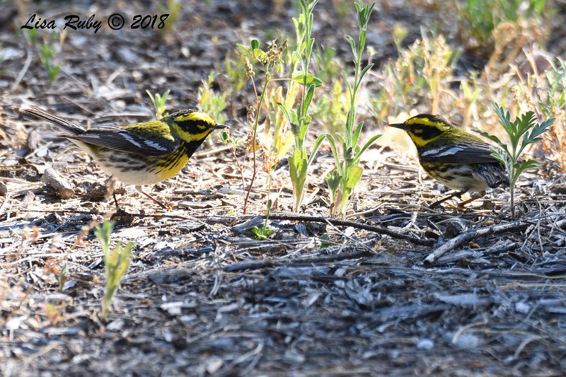 Two Townsend's Warblers  - 5/6/2018 - Tijuana River Valley Bird & Butterfly Garden