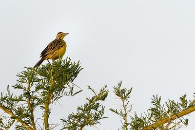 Longclaw, Yellow-throated
