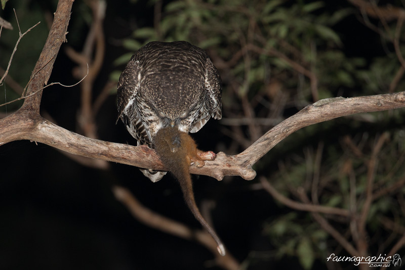 Powerful Owl feeding