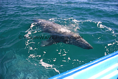 Grey Whales of Magdalena Bay 1/25 & 26/16