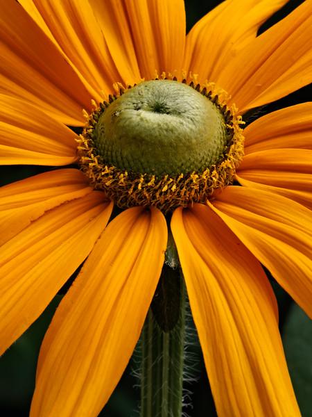 Rudbeckia Prairie Sun.jpg