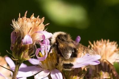 Fernald Cuckoo Bumble Bee fernaldae