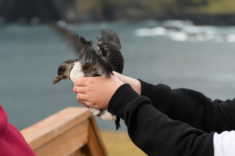 Puffin Release